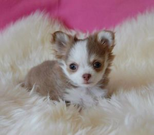 Chihuahua Femelle Lilas Blanche Poil Long Enregistree Ckc Laval North Shore Chihuahua Dogs And Puppies Animals