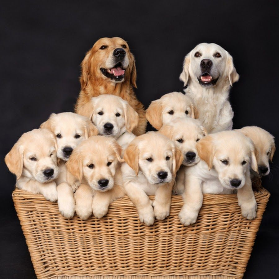 Human Bonding Process Puppies Golden Retriever Dogs