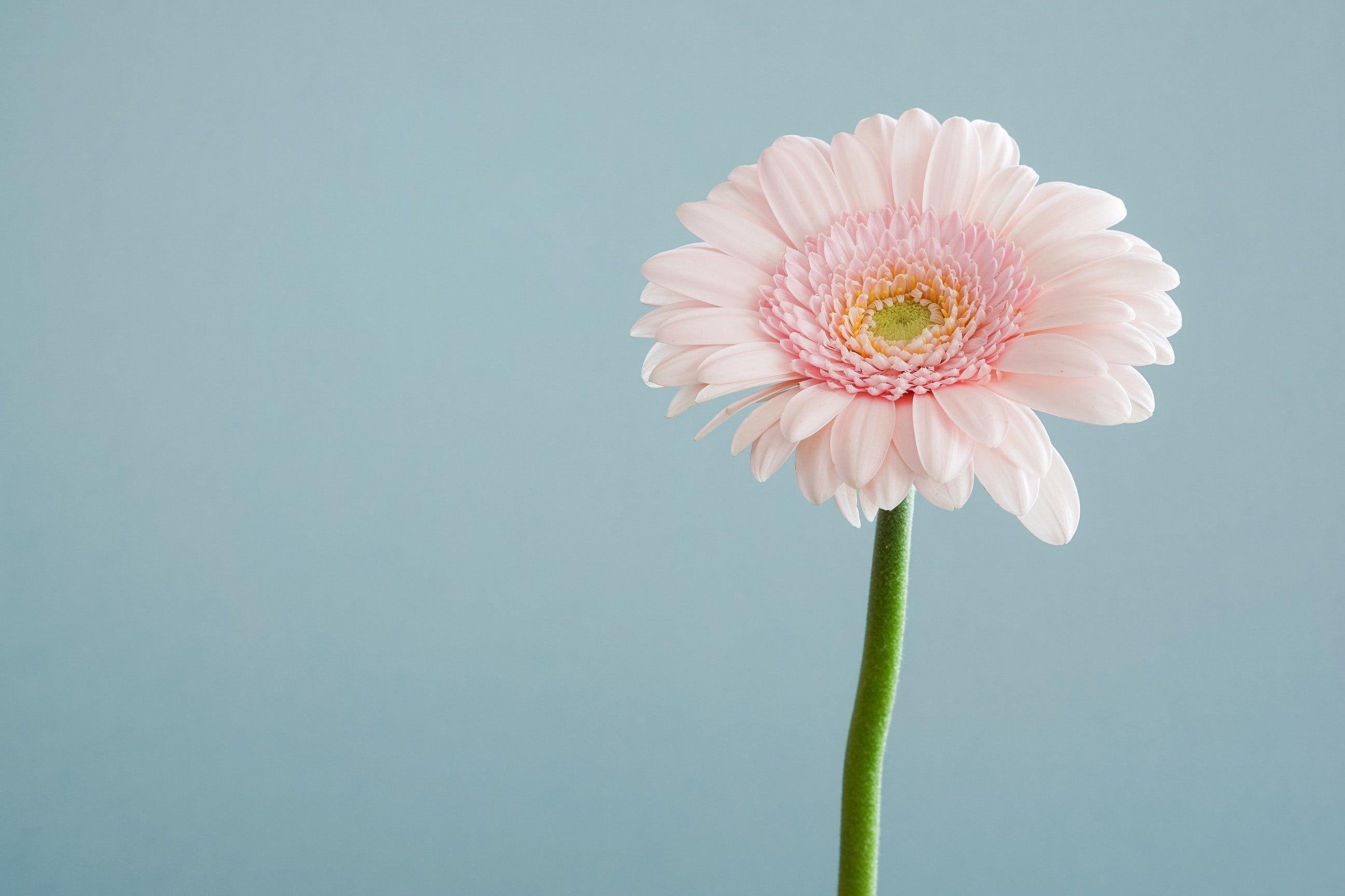 Close Up Of A Pastel Pink Gerbera Flower Flower Images Gerbera Flower Flower Seeds