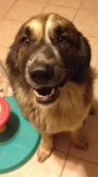 Adopt Brutus N On Leonberger Dog Leonberger Dogs