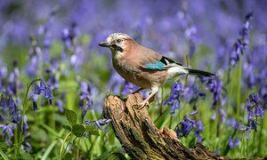 A jay, startling with its complex markings and colours.