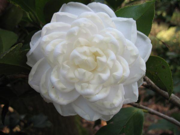 Camellia Japonica Varieties And Images Low Light House Plants Camellia Plant Plants