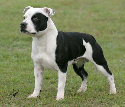 Futurebaby Pitbull Terrier American Pitbull Terrier Bull Terrier