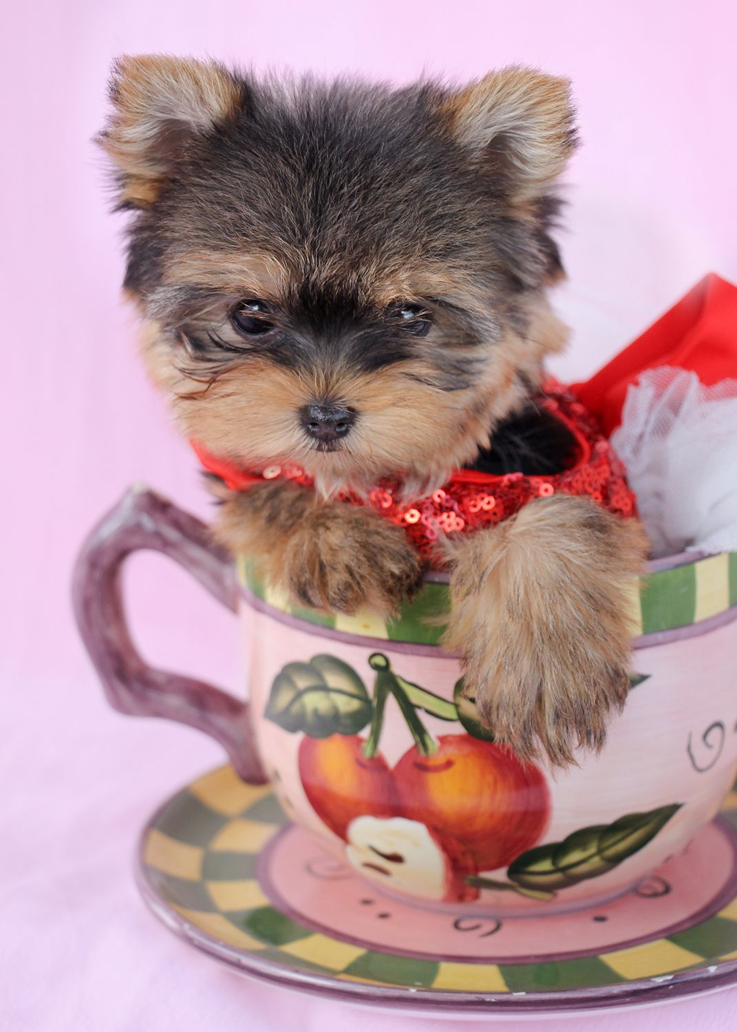 Gorgeous Teacup Yorkie In Her Christmas Dress Teacup Puppies Yorkie Puppy Teacup Animals