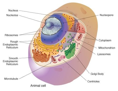 Cell Biology Geneed Genetics Education Discovery Animal Cell Eukaryotic Cell Organelles