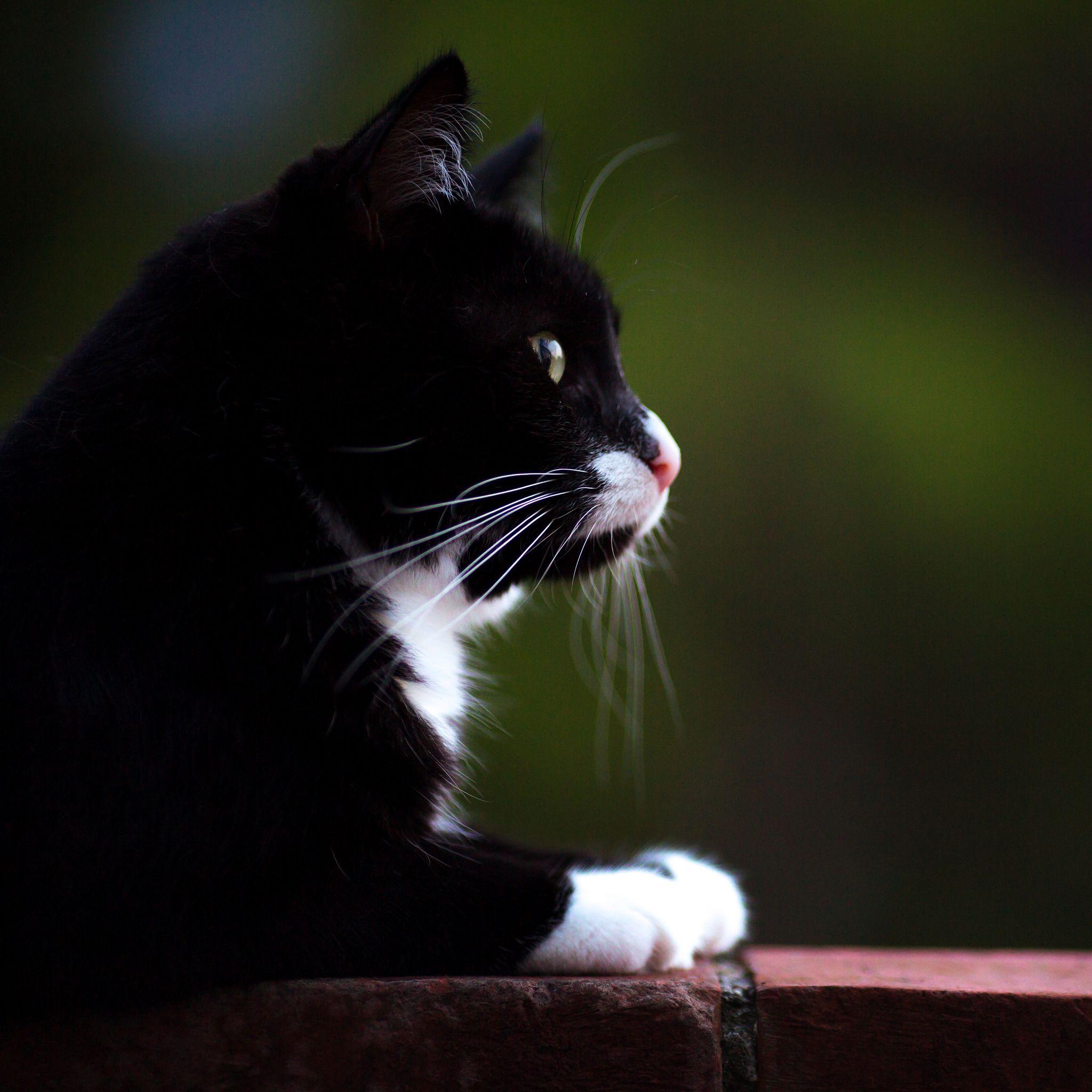 cat Carel Chat noir et blanc, Chat, Noir et blanc