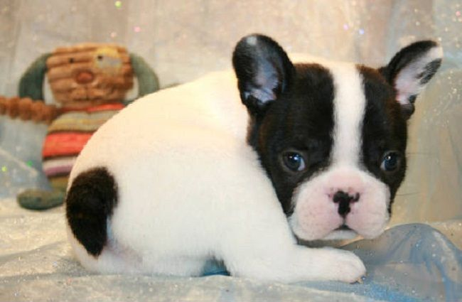 French Bulldog Puppies For Sale In Georgia Zoe Fans Blog Cute