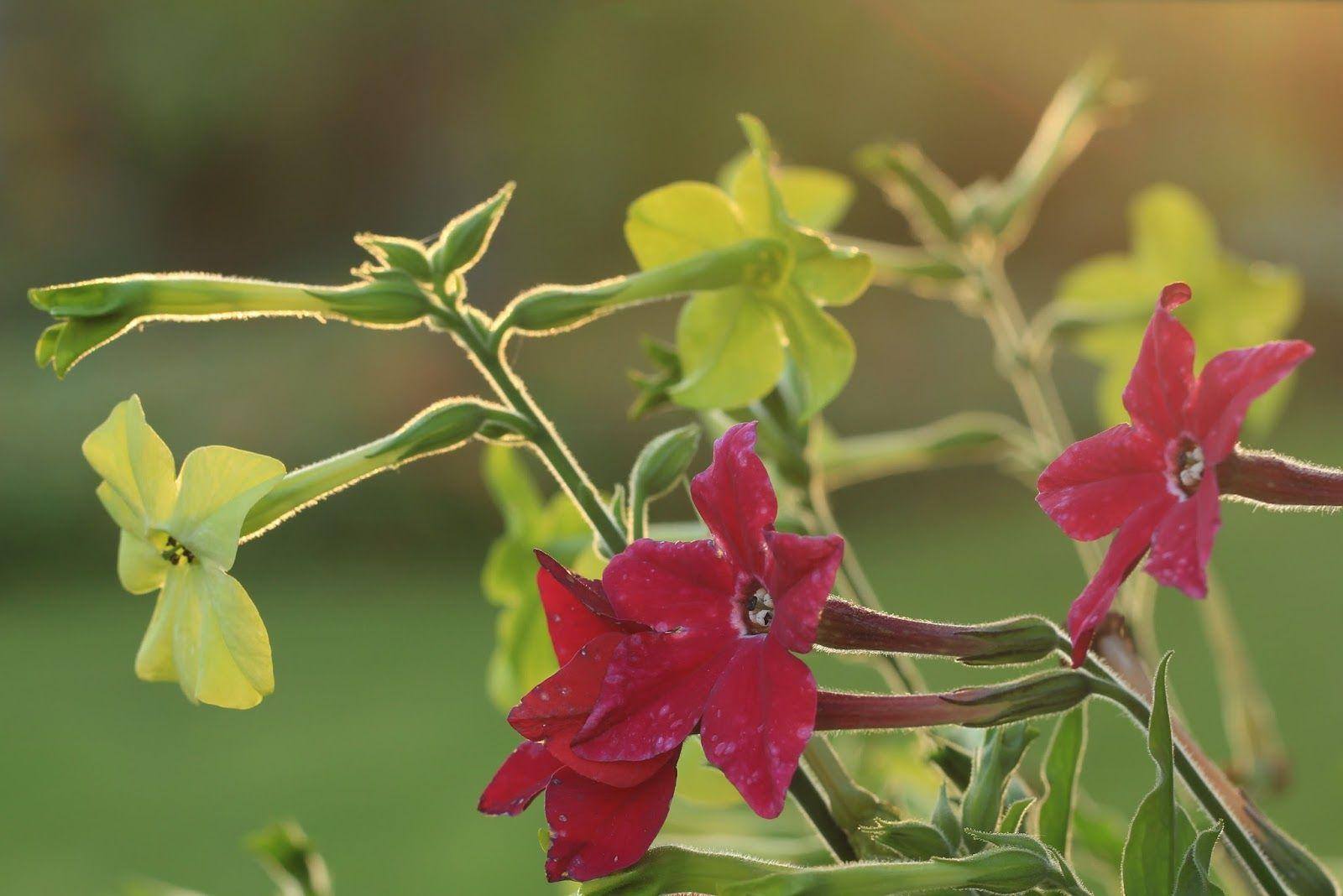 Nicotiana Sanderae