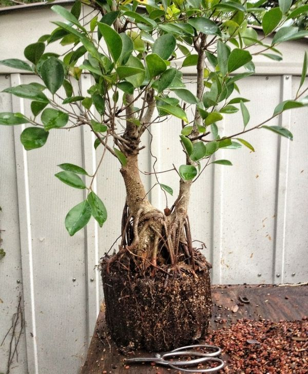 Ginseng Pflege der ficus ginseng – tipps zur pflege von diesem interessanten bonsai