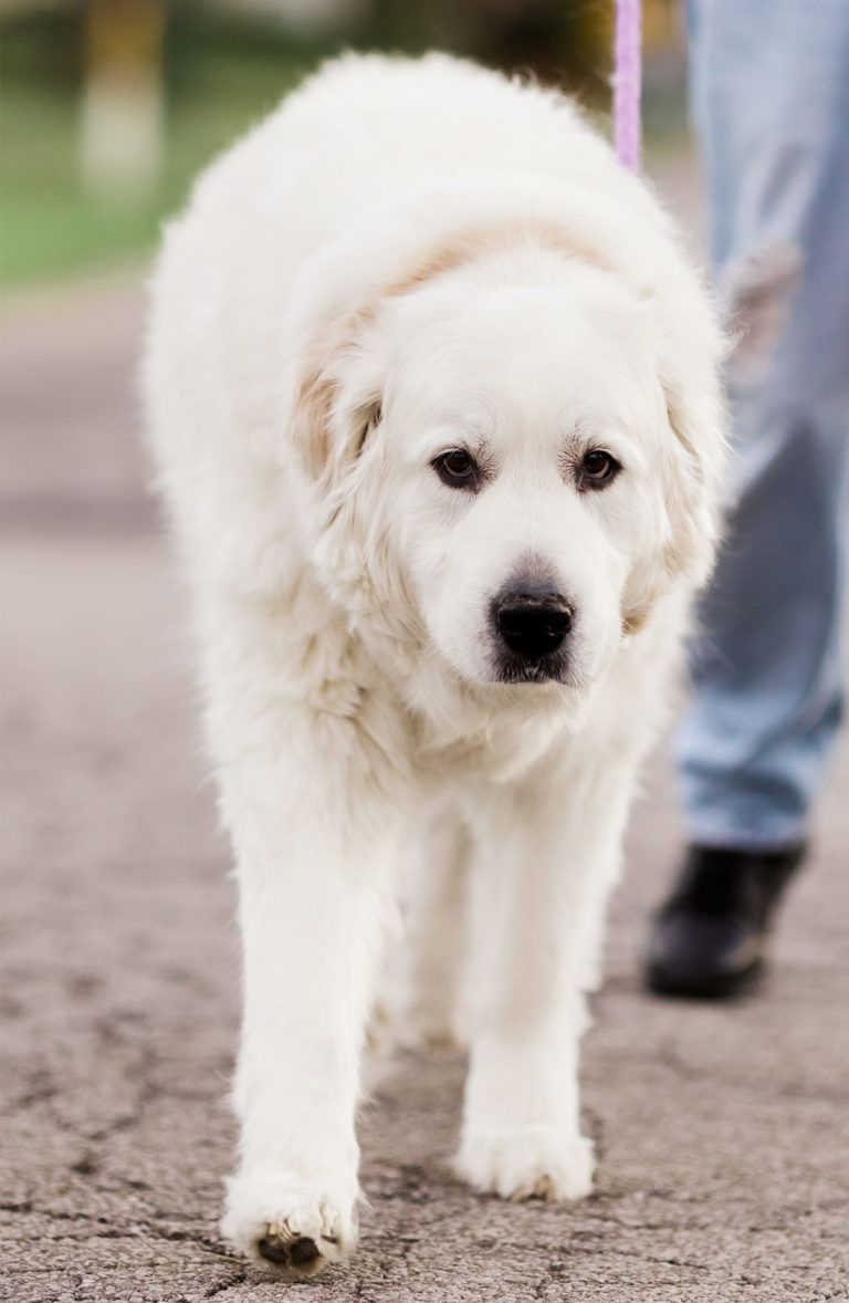Pyrador Your Guide To The Great Pyrenees Labrador Mix Great