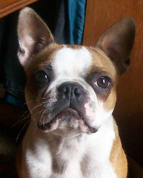 The Fawn Boston Terrier Has A Tan Colored Coat Intermingled With