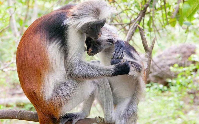 Bildergebnis für zanzibar monkey