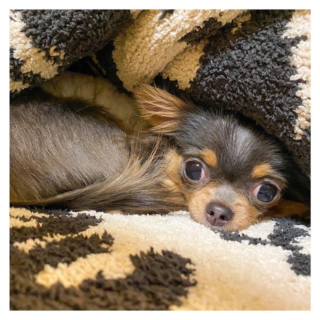 あたちはいつだって すていほーむ Stayhome おうち時間 チワワ チワワ部 ブラックタンチワワ ブルータンチワワ ロングコートチワワ チワワ部神奈川支部 いぬすたぐらむ 犬のいる暮らし Dog Chihuahua Lover Chihuahua Animals