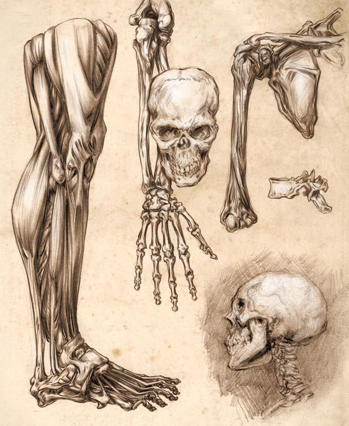 https://www.google.co.nz/search?q=anatomy for artists | anatomy, Muscles