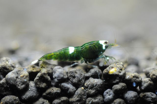 Green King Kong Freshwater Aquarium Shrimp Shrimp Tank Shrimp