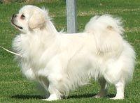 Tibetan Spaniel Tibetan Spaniel Chinese Dog Spaniel Breeds