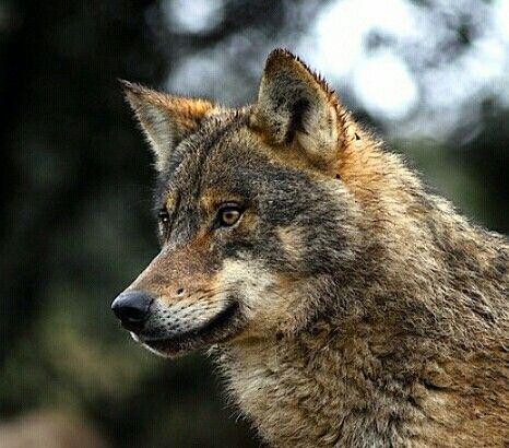 El Lobo Ibérico Wolfshond Wolven