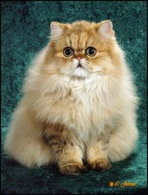 Most beautiful cat breed in the world.. Chinchilla Persian...Full Grown Male Golden Chinchilla