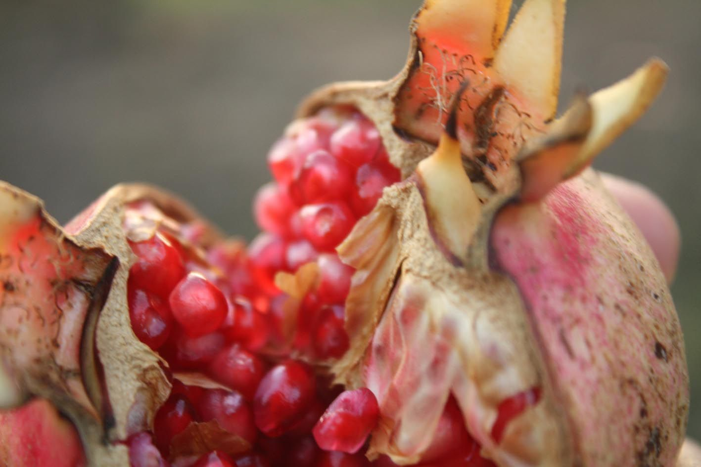 In Christian Imagery The Pomegranate Is A Natural For Death And