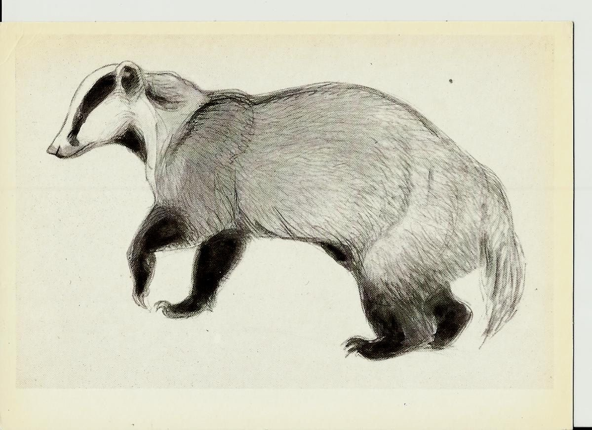 Uncategorized Badger Drawing badger drawing illustrations of animals by vatagin vintage russian postcard unused 1978 by