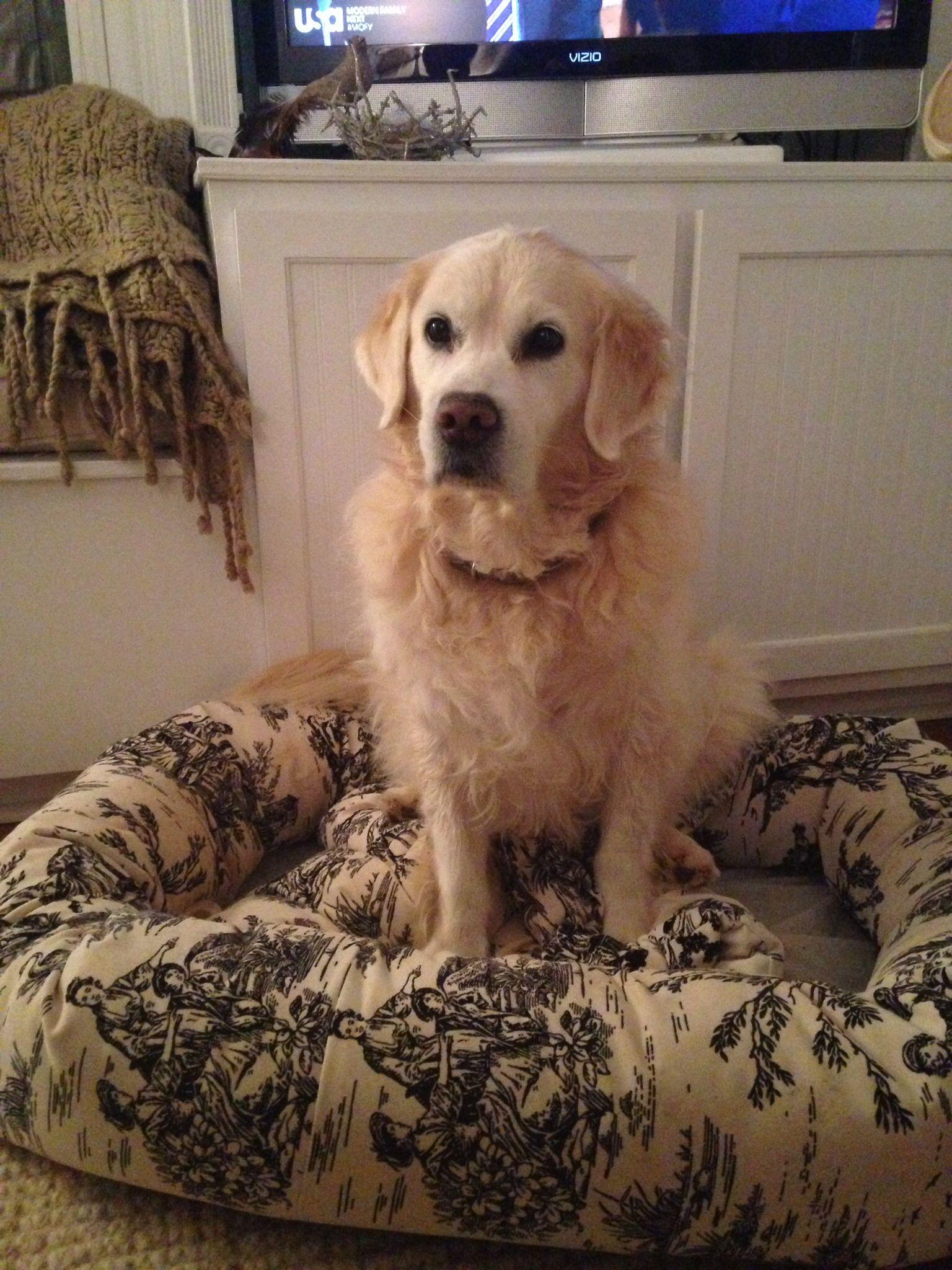 Belle english golden retriever hunde
