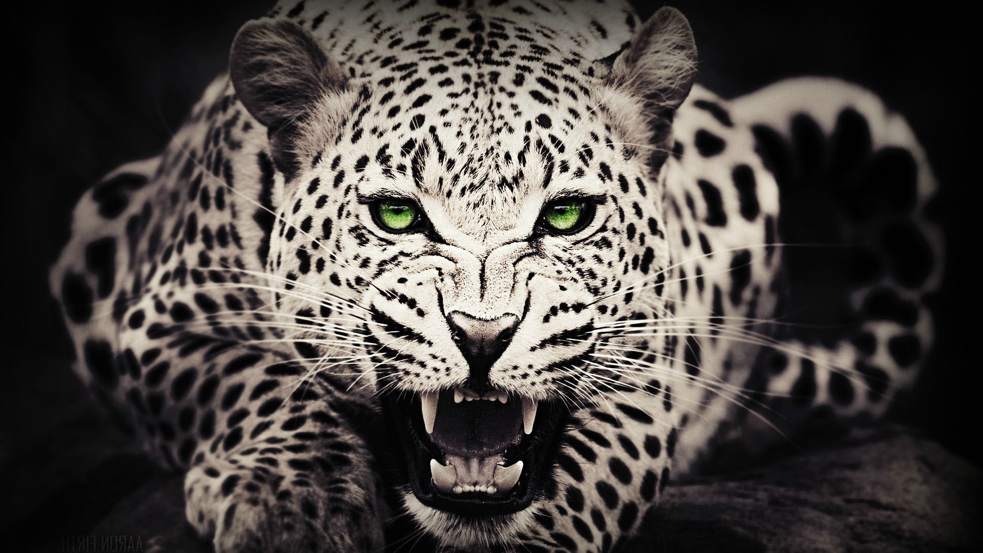 Black White Cheetah Wallpaper Hdwallpapershams Com Cheetah Wallpaper Wild Animal Wallpaper Leopard Wallpaper