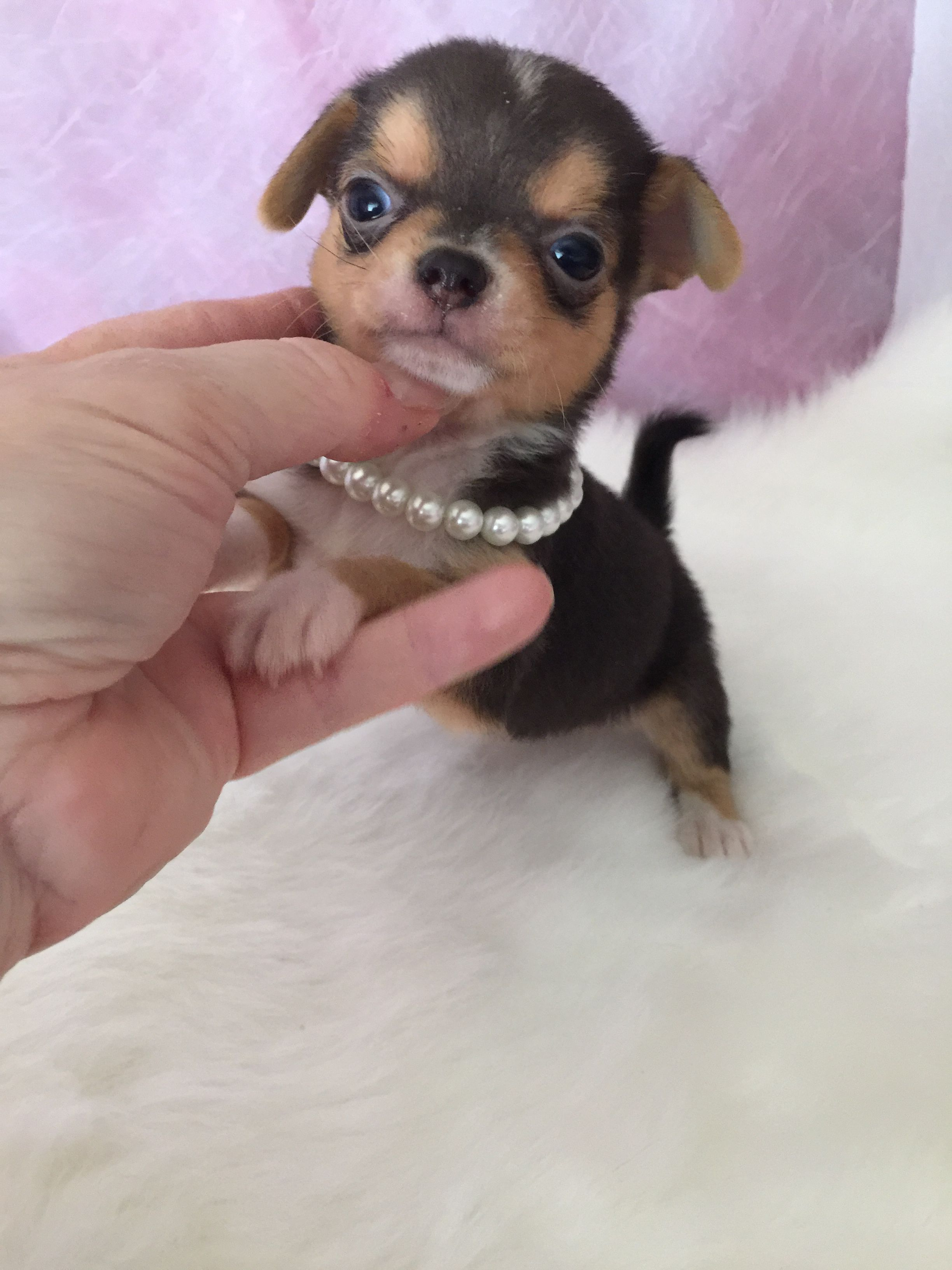 Teacup Chihuahua Puppies For Sale We Specialize In Teacup Chihuahuas Here At Chihuahua Tea Teacup Chihuahua Puppies Cute Chihuahua Chihuahua Puppies For Sale