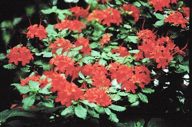 Native Azaleas - Rhododendron cumberlandense