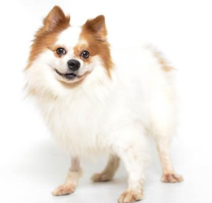 Adopt Valentino, a lovely 7 years  2 months Dog available for adoption at Petango.com.  Valentino is a Pomeranian and is available at the National Mill Dog Rescue in Colorado Springs, Co.  www.milldogrescue.org #adoptdontshop  #puppymilldog   #rescue  #adoptyourfriendtoday