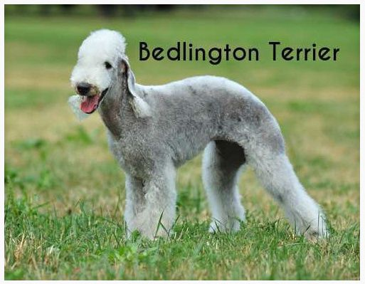 The Bedlington Terrier Is A Breed Of Small Dog Named After The