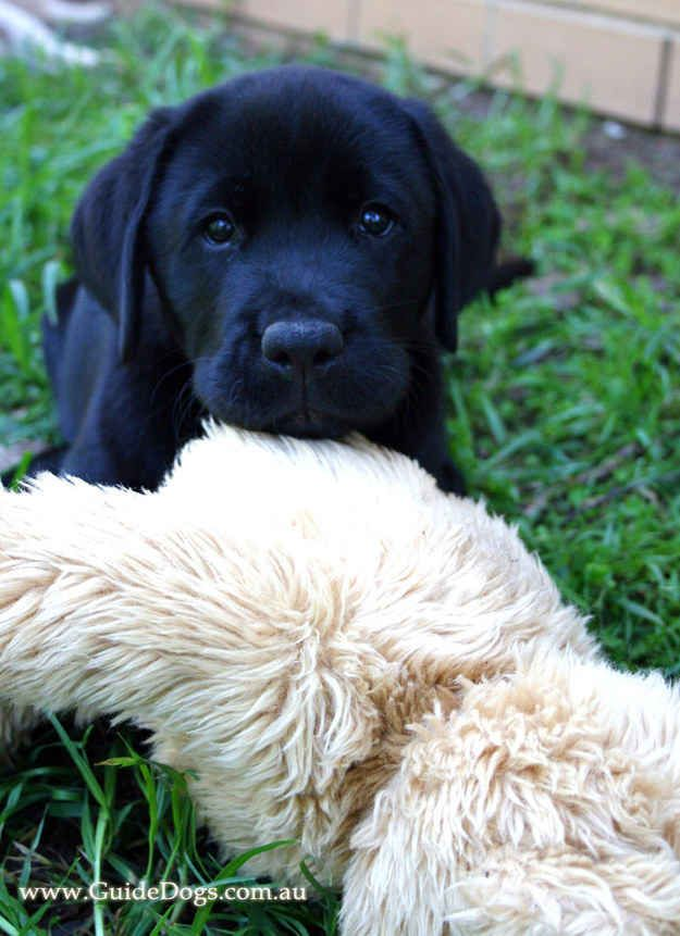 Adorable Guide Dogs In Training That Will Put A Smile On Your - 29 adorable animals that will put a smile on your face