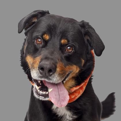 6/17/16 Meet Heismann, an adoptable Rottweiler looking for a forever home. Dog • Rottweiler & Bernese Mountain Dog Mix • Senior • Male • Large Best Friends Pet Adoption & Spay Neuter Center Mission Hills, CA