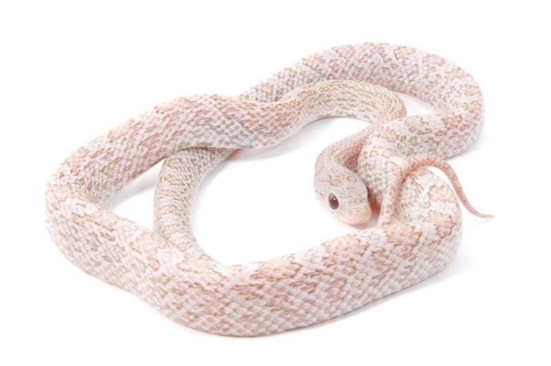 lava corn snake - photo #40