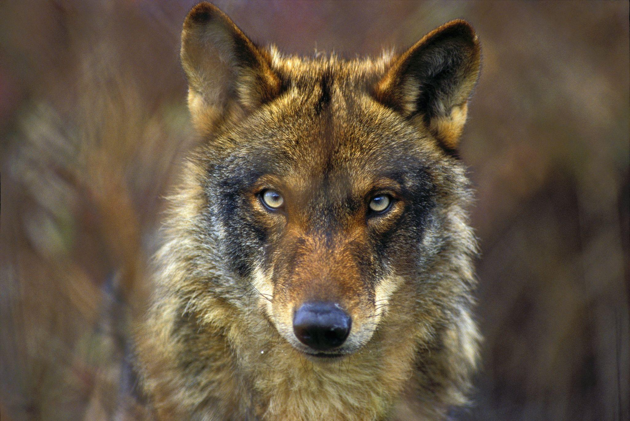 Lobo Ibérico Canis Lupus Signatus Animales En Peligro De Extincion Ojos Del Lobo Perros Salvajes