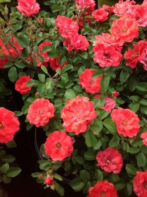 Coral Drift Rose Is A Groundcover Rose With Bright Orange Coral