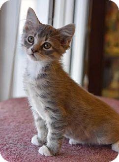 Dfw Metroplex Tx Laperm Meet Stella A Cat For Adoption Http Www Adoptapet Com Pet 17583104 Dfw Metroplex Te Kitten Adoption Cat Adoption Pets