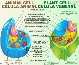 Resultado de imagen de celula vegetal c lula c lula vegetal e celulas - Informacion sobre la fibra vegetal ...