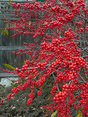 Winterberries. Winterberries (Ilex verticillata) put on a spectacular show in late fall and early winter—until the birds find them.