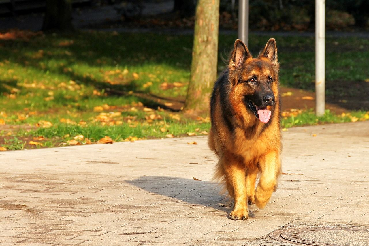 How To Identify A Pure Breed German Shepherd 4 Ways You Might