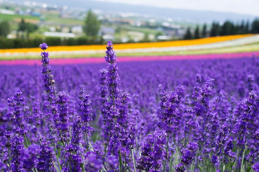 Lavender Fields Of Furano Hokkaido Japan R Japanpics Furano Lavender Fields Japan