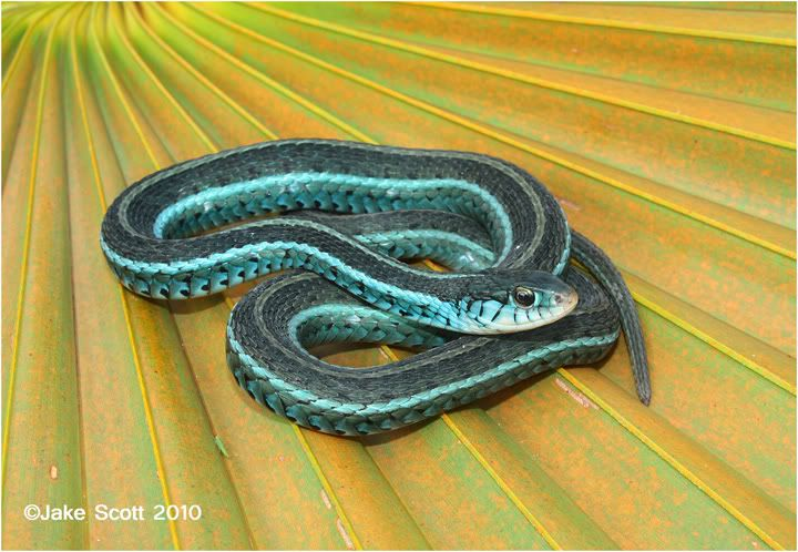 520778fd2a3fc4 This is a blue-striped garter snake. Very helpful to have around. Saw one  this morning that someone killed. Shame. It's a beautiful snake.