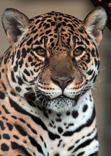 Jaguar Antwerpen By J A Kok Beautiful Cats Animals Wild Wild Cats