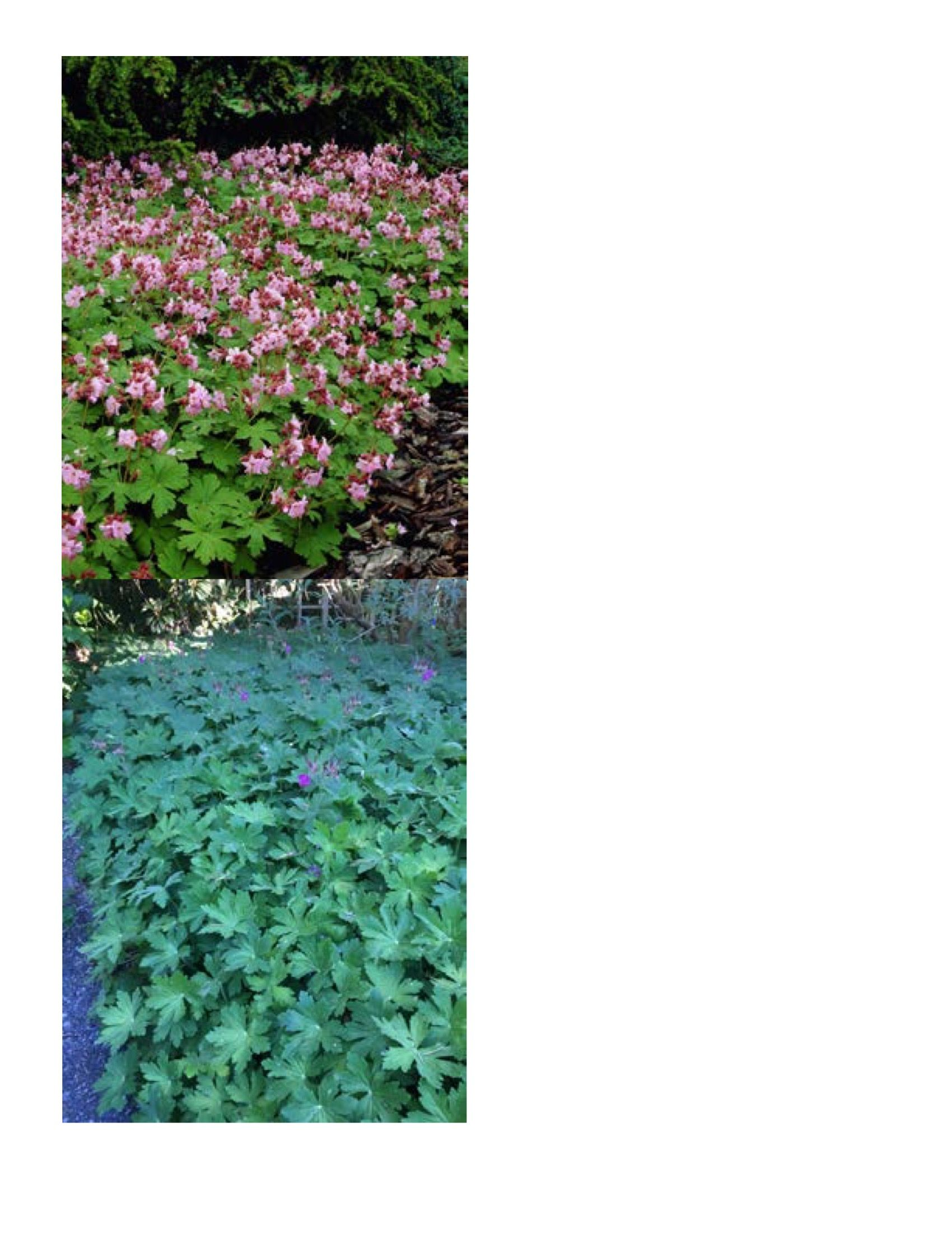 Geranium macrorrhizum. Amazing evergreen perennial. Likes some shade. How to propagate. Break off stem, place on compost and walk away. How to control. Pick plant up. This plant has great Spring flowers, nice fall tints, evergreen herbaceous leaves, spreads easily in shade, easy to control.