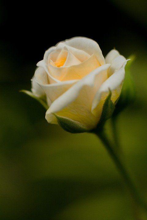 Wallpaper Bunga Ros Cantik Di 2020 Bunga Wallpaper Bunga Mawar Cantik