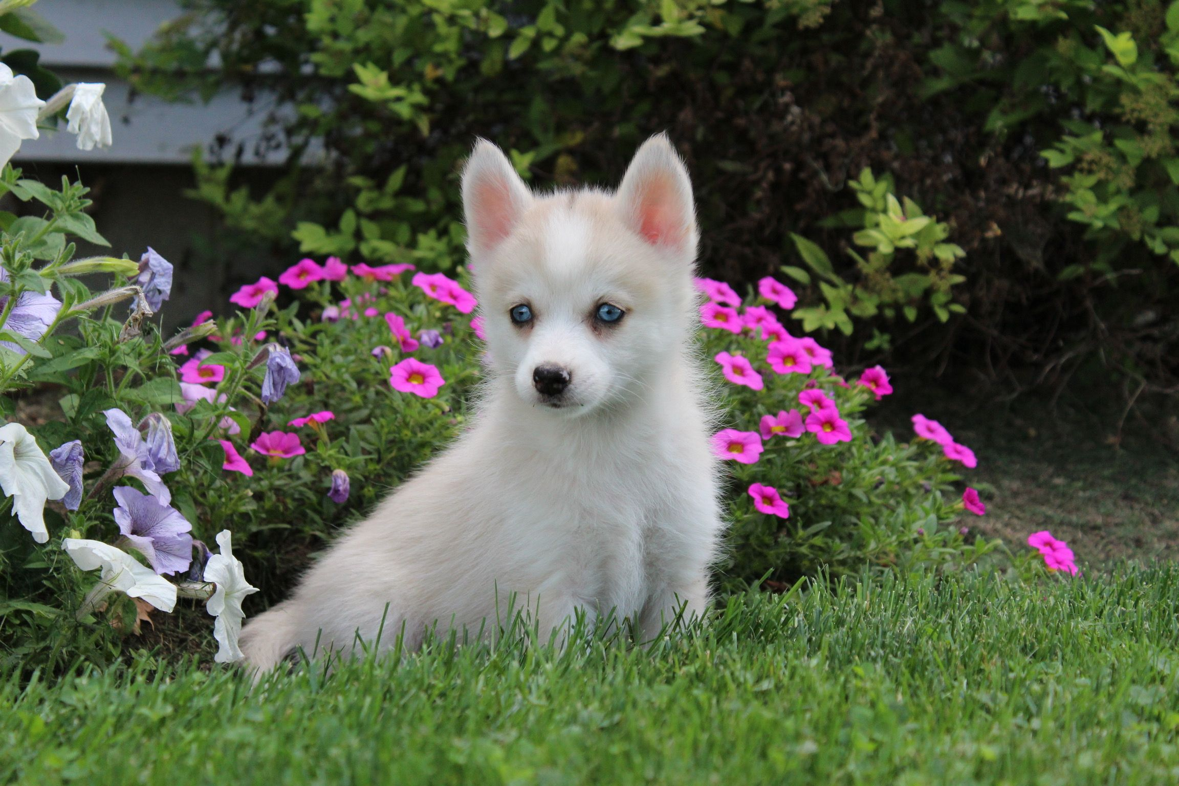 Cindy Female Ckc Pomsky Puppy For Sale In Nappanee Indiana Pomsky Puppies Pomsky Puppies For Sale Puppies For Sale