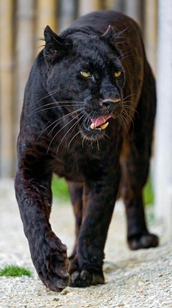 Téa Tosh Animals, Wild cats, Animals wild