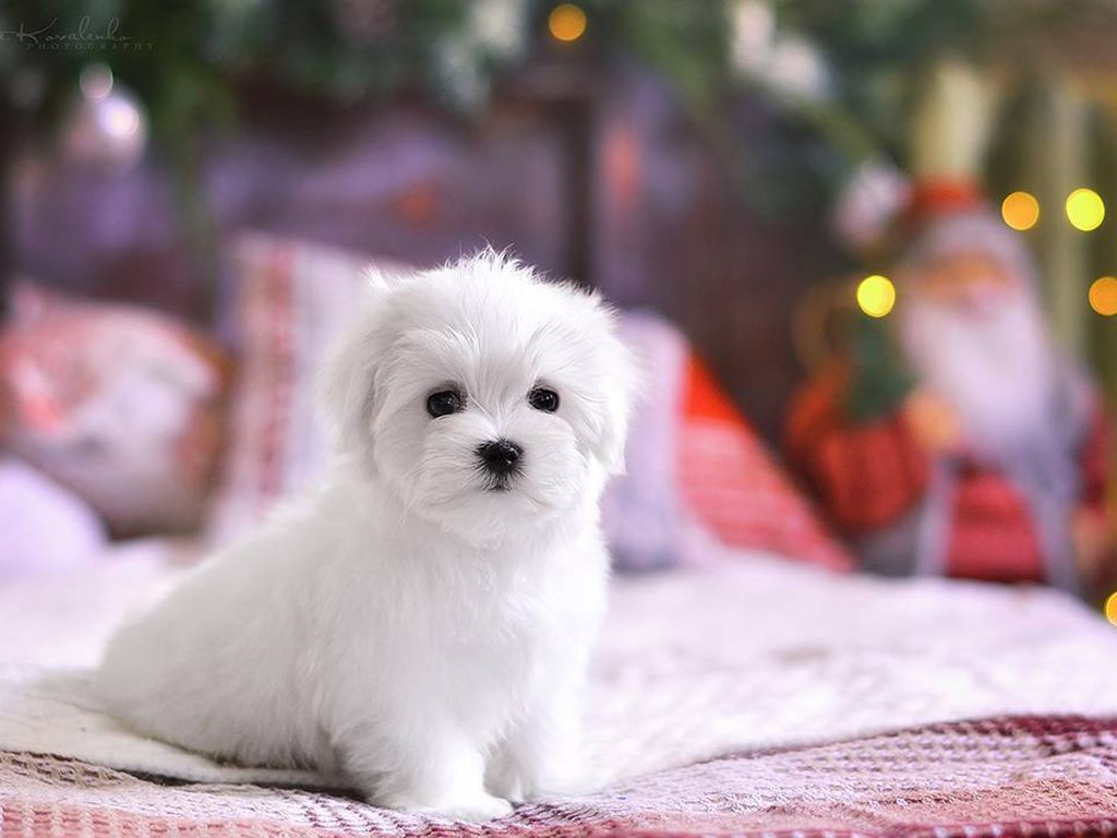 Maltese Teacup Puppies For Sale In Pietermaritzburg References