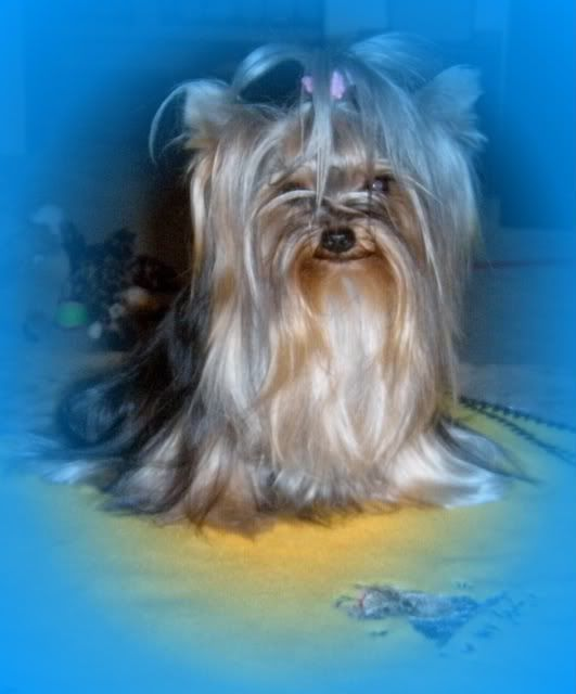 Yorkie, Dogs And Puppies, Animals