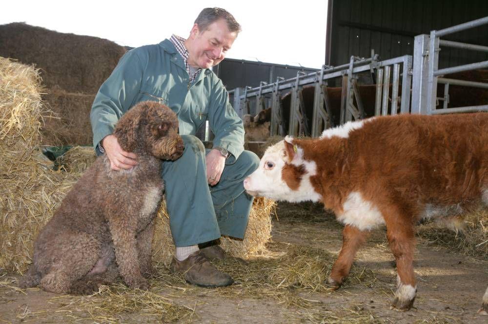 miniature Hereford breed