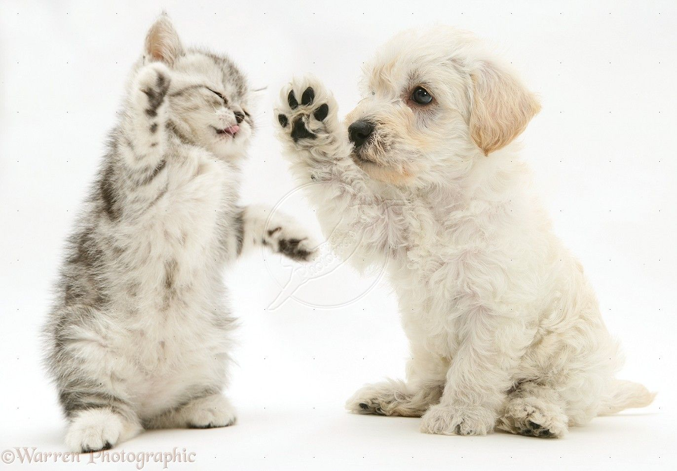 Puppies And Kittens Pictures Pets Woodle Puppy And Kitten Boxing Photo Wp16066 Cute Puppies And Kittens Cute Cats And Dogs Kittens And Puppies